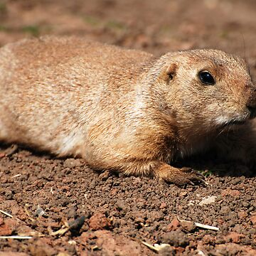 Crawling (Prairie dog) by Luci