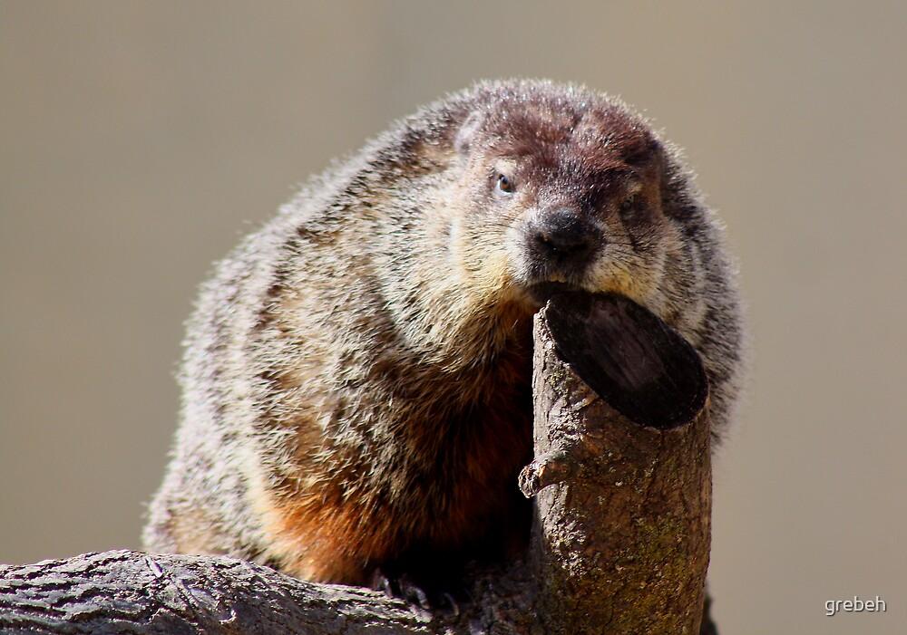 Groundhog by grebeh