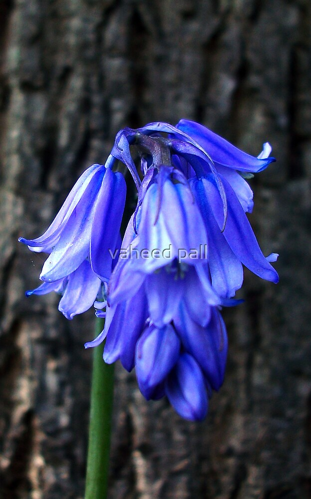 bluebell by vaheed pall