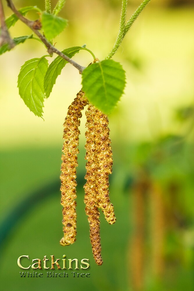 White Birch Catkins by Trudy Wilkerson