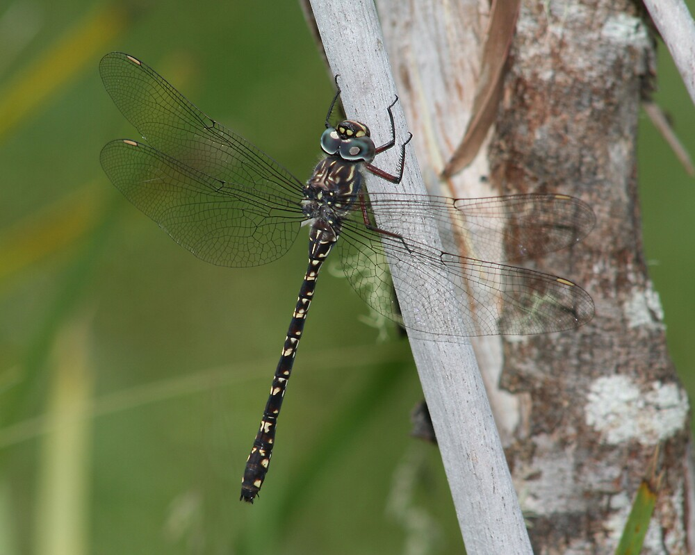 Multi-spotted Darner by Norman Mueller