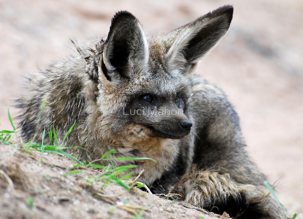 Bat-eared Fox by Luci Mahon