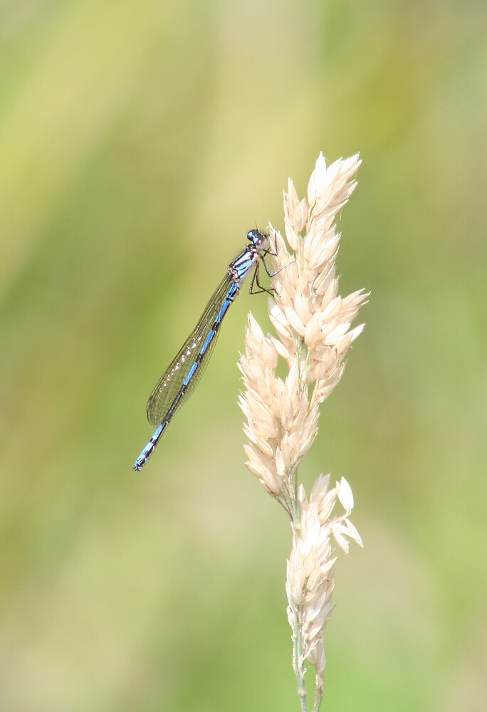 Swamp Bluet by Norman Mueller