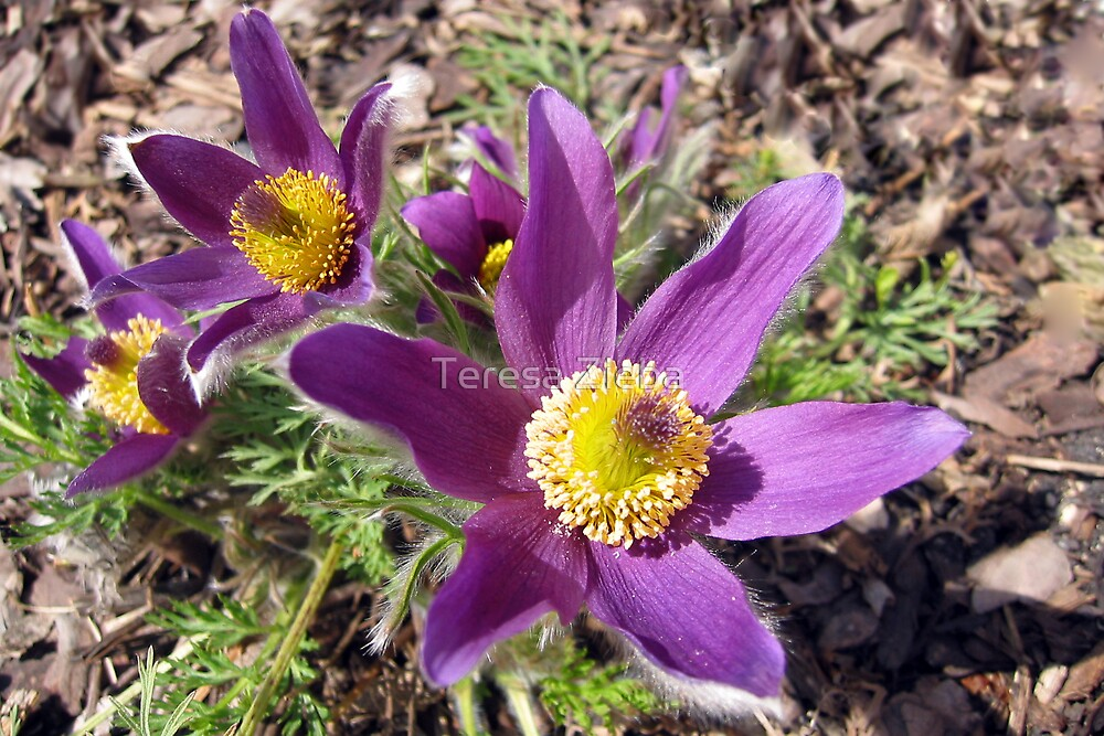 Pasque Flower 2 by Teresa Zieba