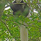 Colobus Monkey, Arusha National Park, Tanzania, Africa by Adrian Paul