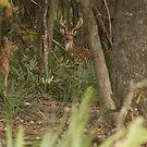 Deer 001 by KSkinner
