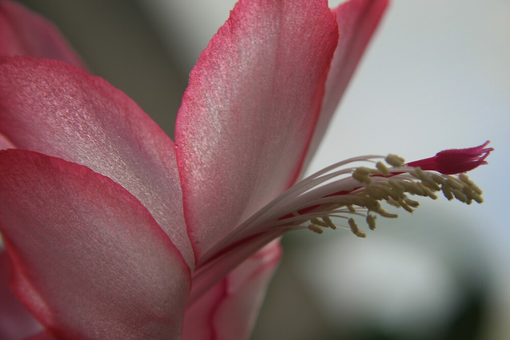 Beautiful pink and white upclose by faulsey