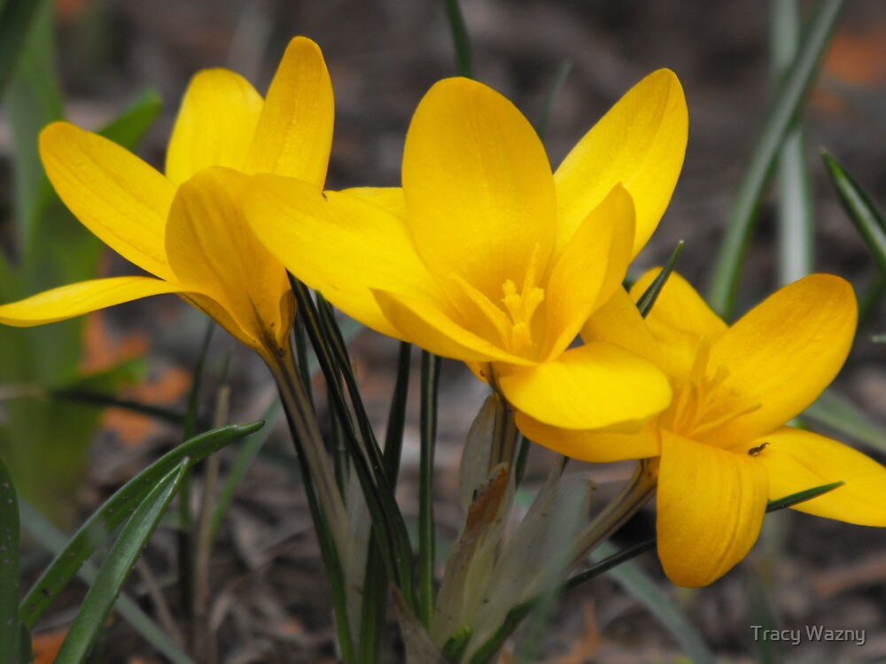 Yellow Crocus by Tracy Wazny