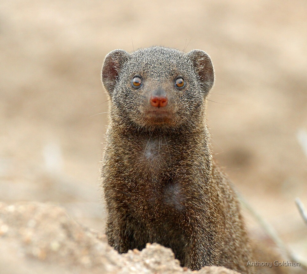 Dwarf mongoose (Who are you ?) by Anthony Goldman