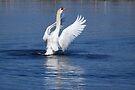 Swan Display - Male Mute Swan by Lynda   McDonald