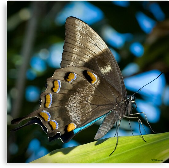 Butterfly blue by Michael Howard
