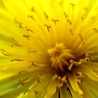 DandelionSunshine by Charlotte Harold