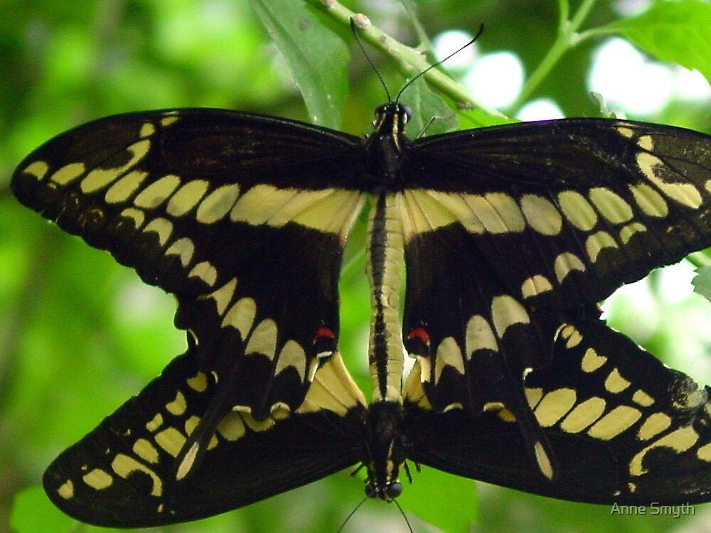 Swallowtail Mating by Anne Smyth