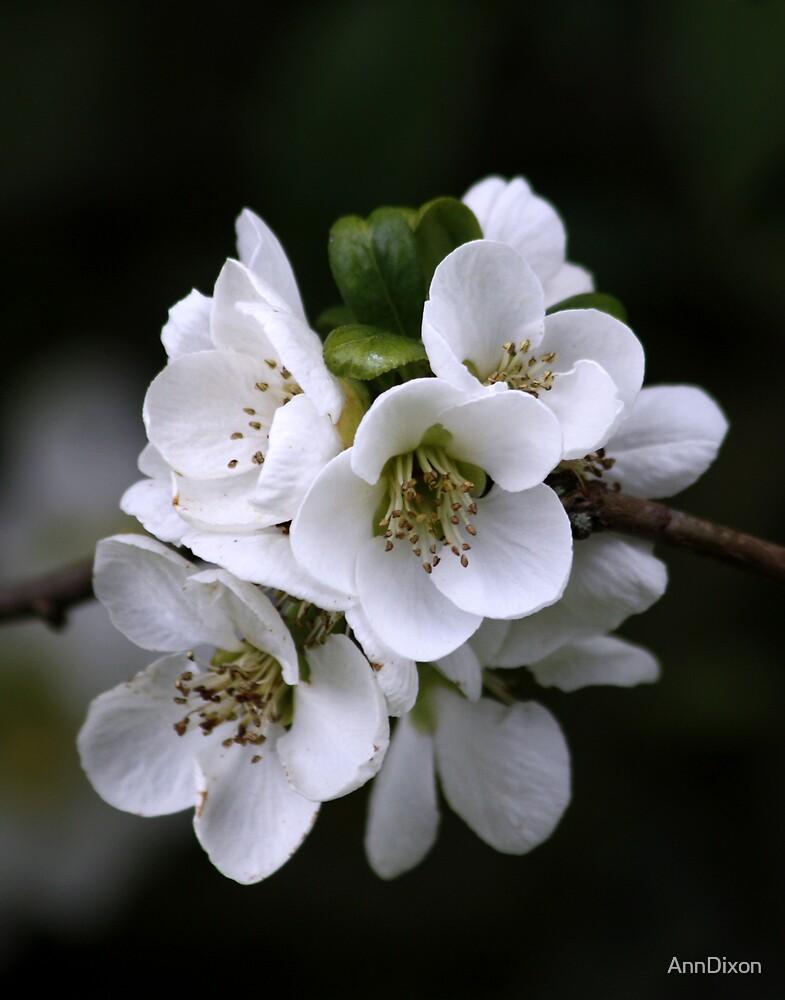 Blossom  by AnnDixon