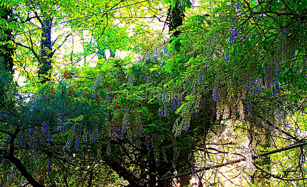 The Wonders of Wisteria by Lisa Taylor