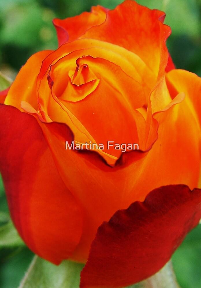 Two toned rose by Martina Fagan