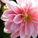 the beautiful dahlia by memaggie