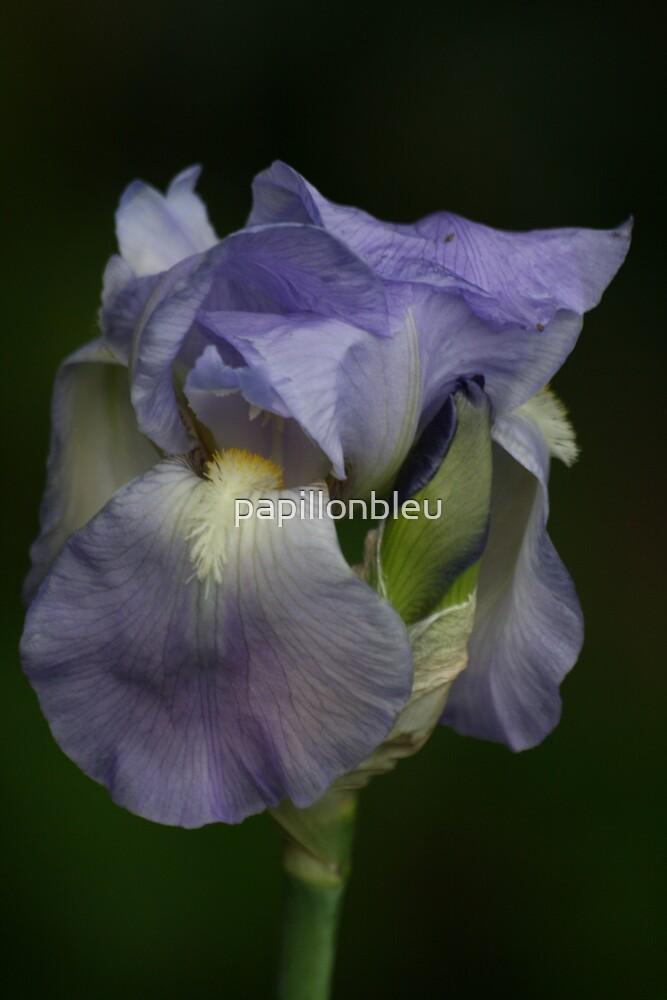 Iris in Blue by Pamela Jayne Smith