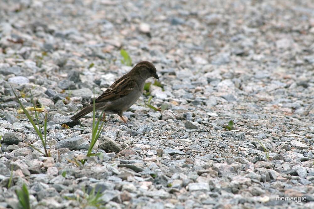 a little fox sparrow by memaggie