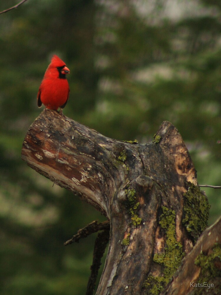 Male Cardinal by KatsEye