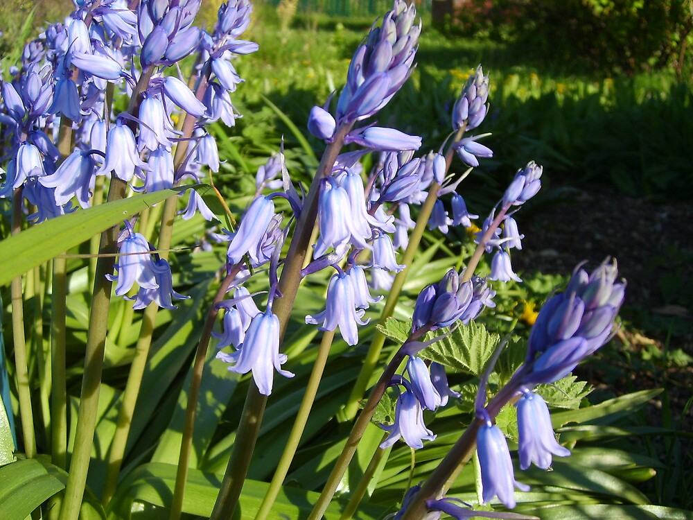 Bluebell's by GardeningArcher