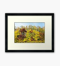 yellowed maple trees in the fall Framed Print