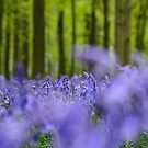 Bluebells by Thomas Peter