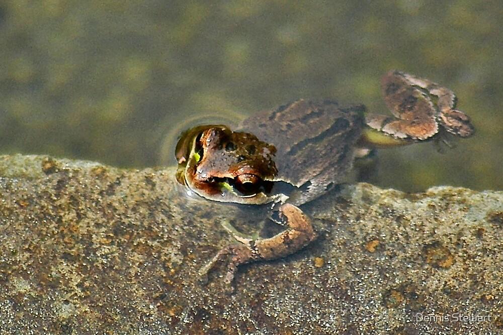 Pond Frog by Dennis Stewart