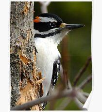 Hairy Woodpecker. Male Poster