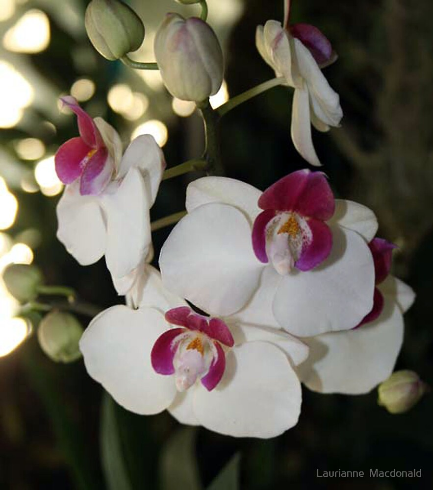Orchid 37 by Laurianne  Macdonald