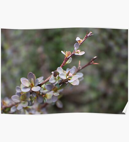 Spring Barberry Poster