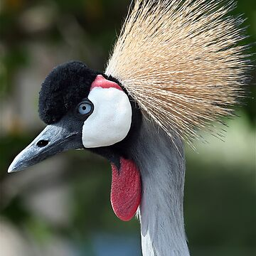 East African Crowned Crane by TRussotto
