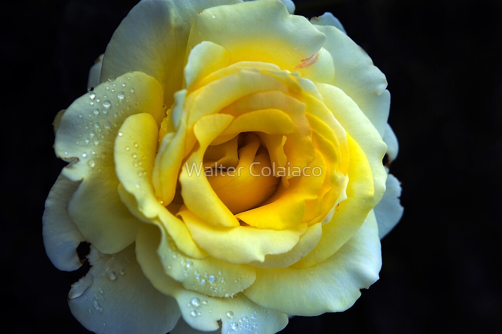 Yellow Rose 1 by Walter Colaiaco