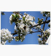 Humble Bumble and Cherry Blossom Poster