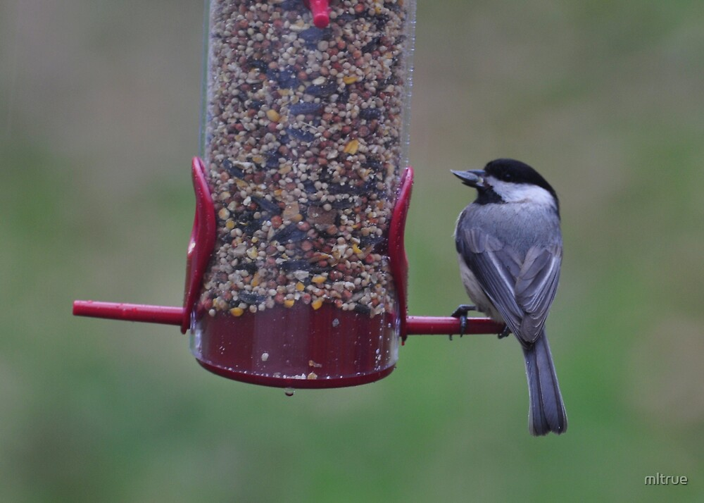 Chickadee with sunflower seed by mltrue