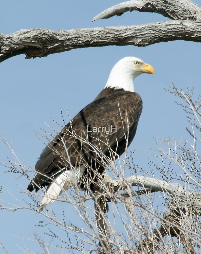 bald eagle by LarryH