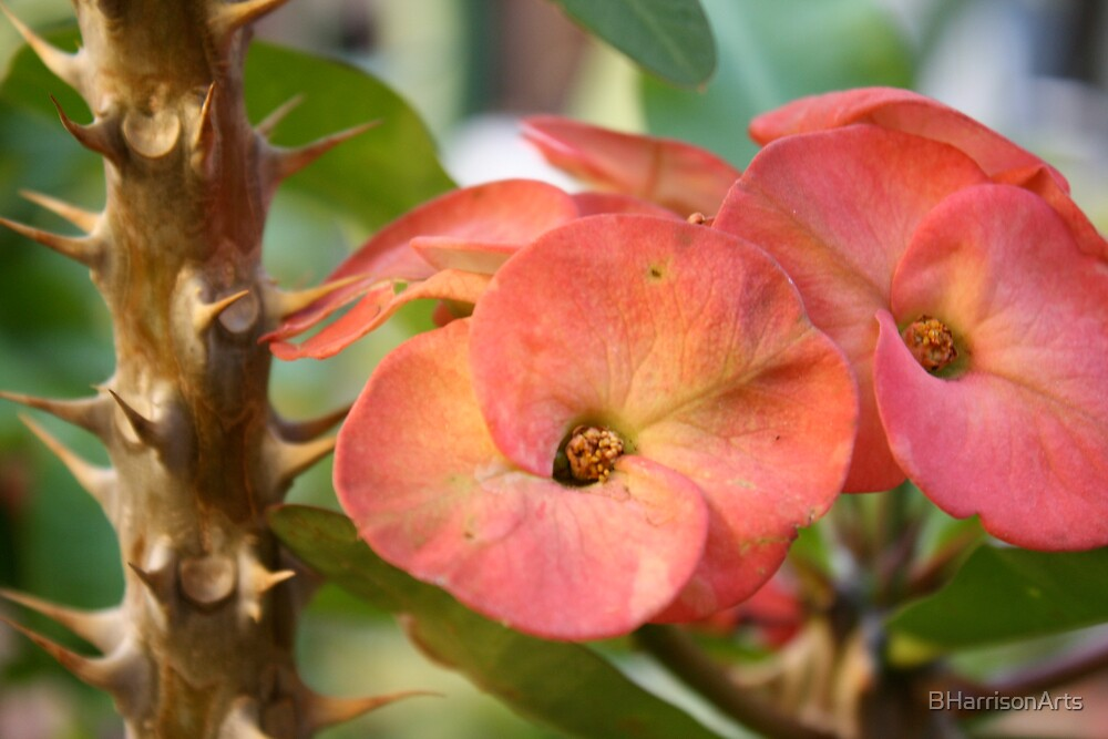 Euphorbia by BHarrisonArts