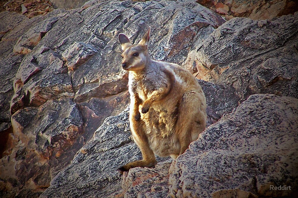Black-footed Rock-wallaby by Reddirt