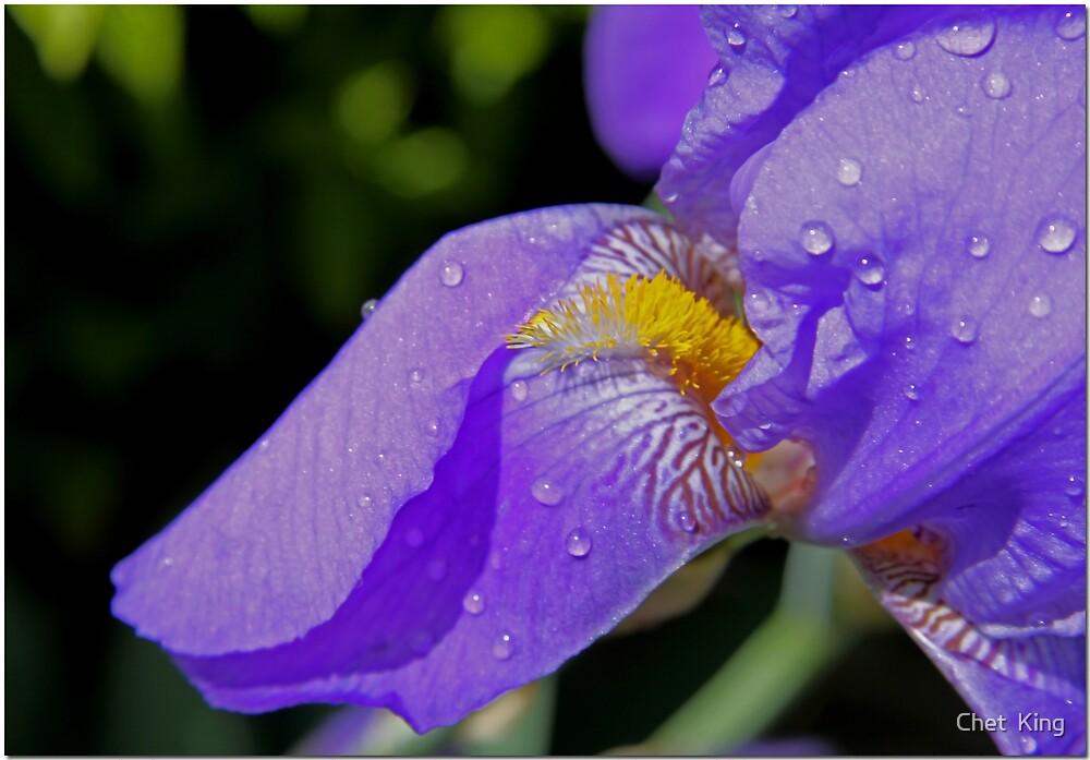 Spring Iris by Chet  King
