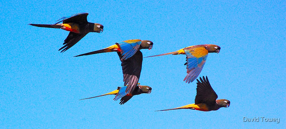 Burrowing Parrots  by David Towey