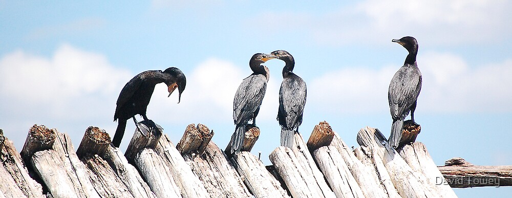 Funny cormorants by David Towey