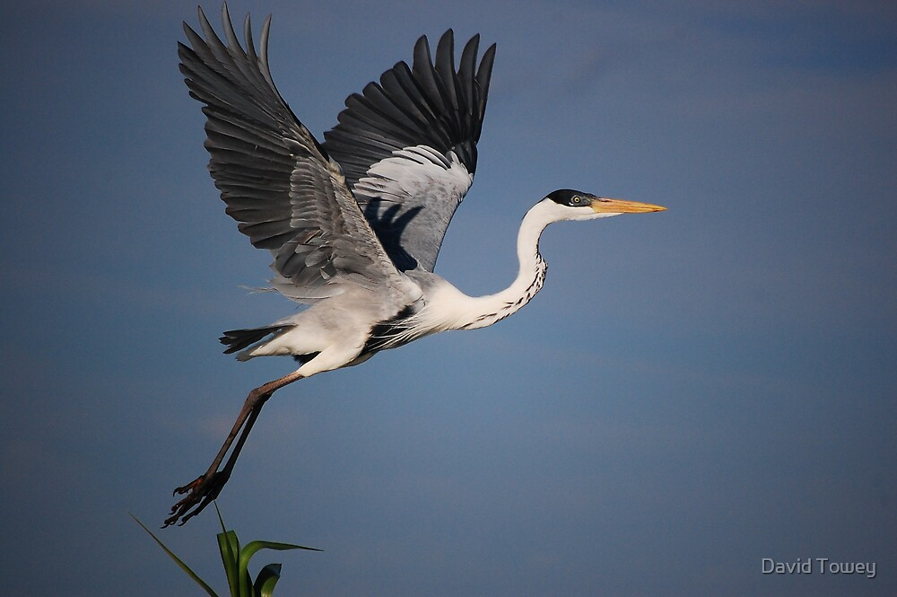 White Knecked Heron on take off by David Towey