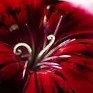 Dianthus Curls - relative of the Carnation by Bev Pascoe