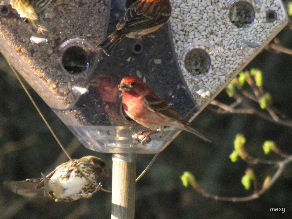NH State Bird Celebrates Spring!  by maxy