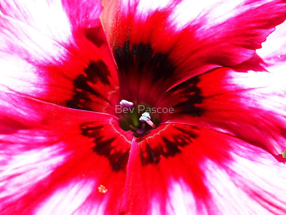 Dianthus - Pink & Red by Bev Pascoe