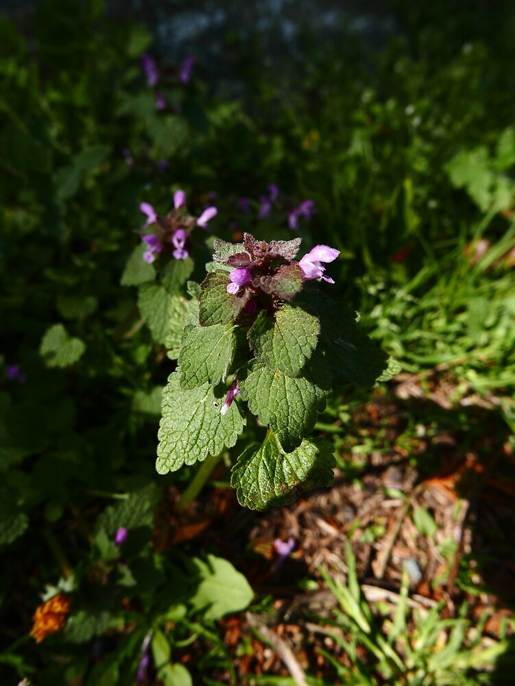 Red Dead-Nettle (Lamium purpureum) by IOMWildFlowers