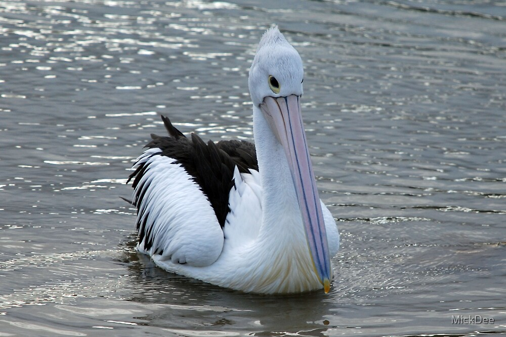 Pelican swimming by MickDee