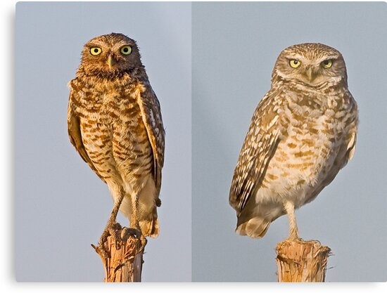 Burrowing Owls - Juvenile and Adult by Marvin Collins