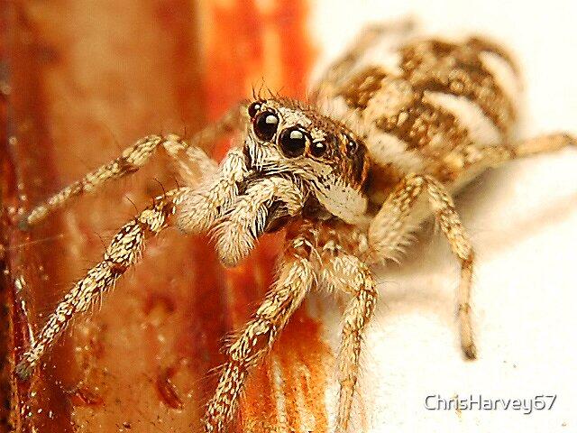 Jumping Spider by ChrisHarvey67