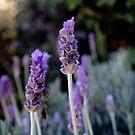 English Lavender by Brandi  Hart